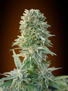 Jack Herer Auto Feminised